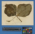 View Botanical Specimens From Quileute Indians digital asset number 23
