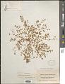 View Euphorbia setiloba Engelm. digital asset number 1