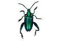 View Frog-legged Leaf Beetle digital asset number 2
