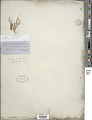 View Isolepis carinata Hook. & Arn. ex Torr. digital asset number 1