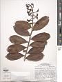 View Souroubea guianensis Aubl. var. guianensis digital asset number 1