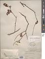 View Dendrotrophe varians (Blume) Miq. digital asset number 1