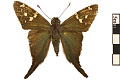 View Long-tailed Skipper digital asset number 0