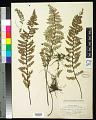 View Myriopteris notholaenoides (Desv.) Grusz & Windham digital asset number 0