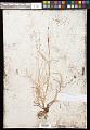 View Carex disperma Dewey digital asset number 0