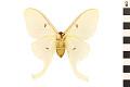 View Luna Moth digital asset number 1