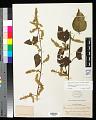 View Chamissoa altissima (Jacq.) Kunth var. altissima digital asset number 0