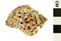 View Frilled Frog Snail, Frilled Frog Shell digital asset number 0