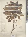View Pistacia terebinthus L. digital asset number 1