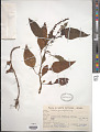 View Celosia grandiflora Moq. digital asset number 1