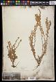 View Artemisia frigida Willd. digital asset number 0