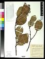 View Combretocarpus rotundatus (Miq.) Danser digital asset number 0