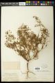 View Euphorbia missurica Raf. digital asset number 0