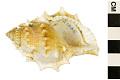View Common Frog Snail, Elegant Frog Shell digital asset number 0