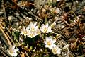 View Lewisia pygmaea (A. Gray) B.L. Rob. digital asset number 1