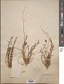 View Thesium rostratum Mert. & W.D.J. Koch digital asset number 1