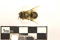 View Polyester Bee, Cellophane Bee, Plasterer Bee digital asset number 5
