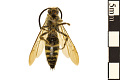 View Scollid Wasp digital asset number 1
