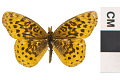 View Meadow Fritillary, Meadow Fritillary digital asset number 2