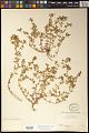 View Euphorbia potosina Fernald digital asset number 0