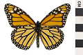 View Monarch digital asset number 0