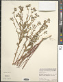 View Euphorbia terracina L. digital asset number 1