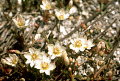 View Lewisia pygmaea (A. Gray) B.L. Rob. digital asset number 4