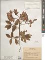 View Serjania laruotteana Cambess. digital asset number 1
