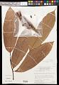 View Theobroma glaucum H. Karst. digital asset number 0