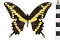 View Giant Swallowtail digital asset number 2