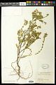 View Euphorbia mesembryanthemifolia Jacq. digital asset number 0