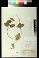 View Passiflora obtusifolia Sessé & Moc. digital asset number 0