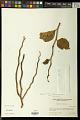 View Pedilanthus tithymaloides (L.) Poit. digital asset number 0