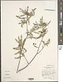 View Croton yecorensis V.W. Steinm. & Felger digital asset number 1