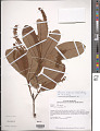 View Panopsis rubescens (Pohl) Pittier digital asset number 1