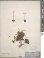View Micranthes merkii (Fisch. ex Sternb.) Elven & D.F. Murray digital asset number 1
