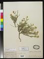 View Melampodium leucanthum Torr. & A. Gray digital asset number 0