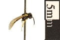 View Common Sawfly digital asset number 1