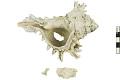 View Murex Shell, Fossil shell digital asset number 1