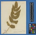 View Botanical Specimens From Quileute Indians digital asset number 24