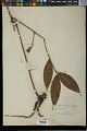 View Dracaena surculosa Lindl. digital asset number 0