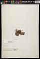View Dermatocarpon luridum (Dill. & With.) J.R. Laundon digital asset number 3