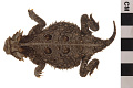 View Texas Horned Lizard digital asset number 3