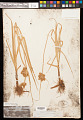 View Bolboschoenus maritimus subsp. paludosus (A. Nelson) T. Koyama digital asset number 0