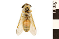 View Striped Horse Fly digital asset number 1