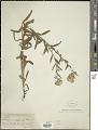 View Lithospermum cobrense Greene digital asset number 1
