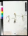 View Cyperus seslerioides Kunth digital asset number 0
