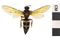 View Eastern Cicada Killer digital asset number 2