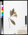 View Rhododendron javanicum Benn. digital asset number 0