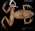 View Colostethus marmoreoventris digital asset number 3